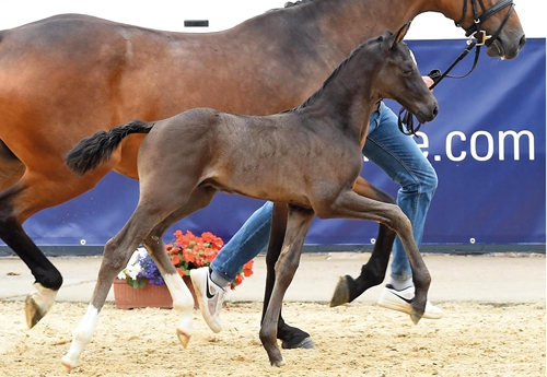 Marco Polo (Marc Cain - San Amour I - Depardieu) était le cheval le plus cher de la 17e édition de la vente aux enchères de poulains d'élite au « Oldenburg Horse Center » à Vechta (Beelitz)