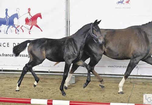Gucci de Hus, 1re des Foals Femelles (© Les Garennes)